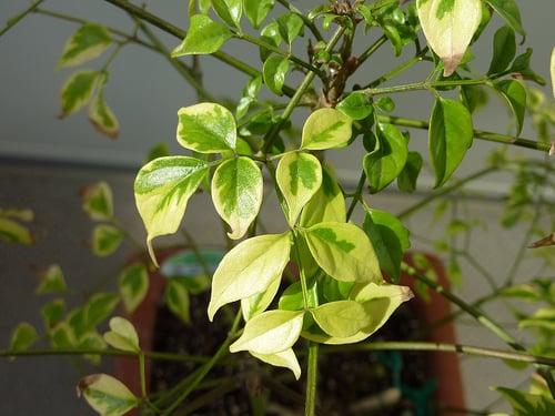pianta-rademarchera