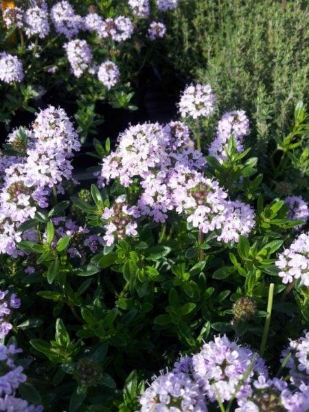 santoreggia-fiori