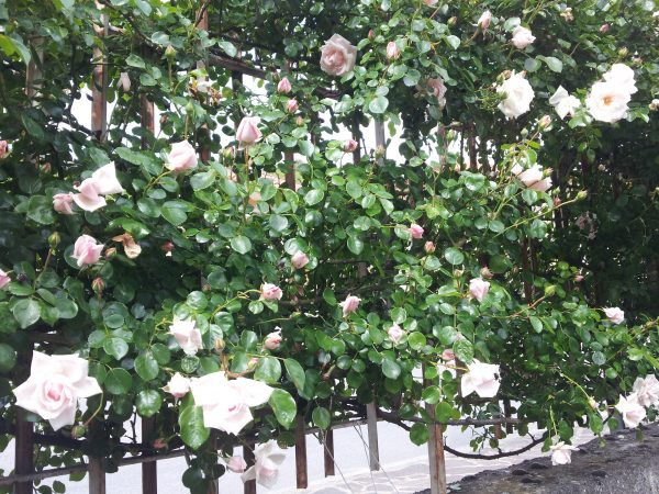rose-rampicanti-usi