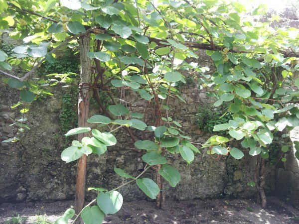 Kiwi-potatura