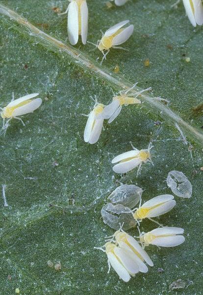 foto-mosca-bianca-aleurodide