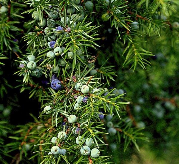 Ginepro-juniper-sempreverde