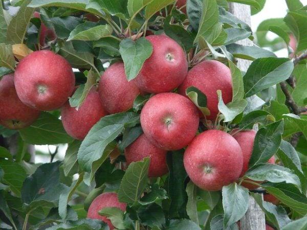 melo-pianta-mele