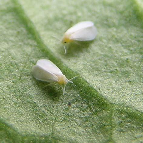 mosca-bianca-aleurodide