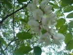 frittata-fiori-robinia