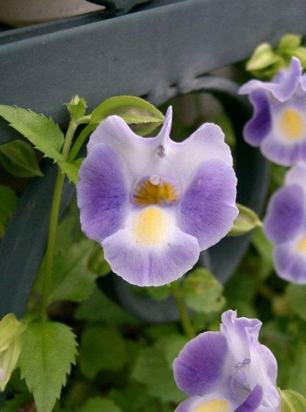 fiore-torenia