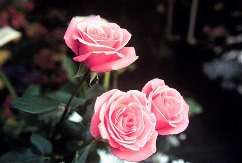 Rose: lotta ai parassiti