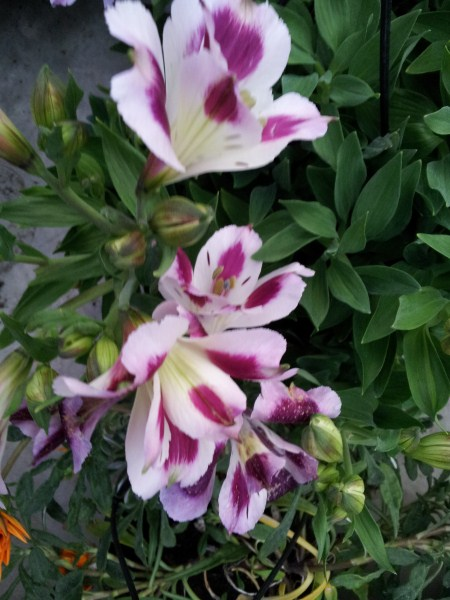 Alstroemeria-fiori
