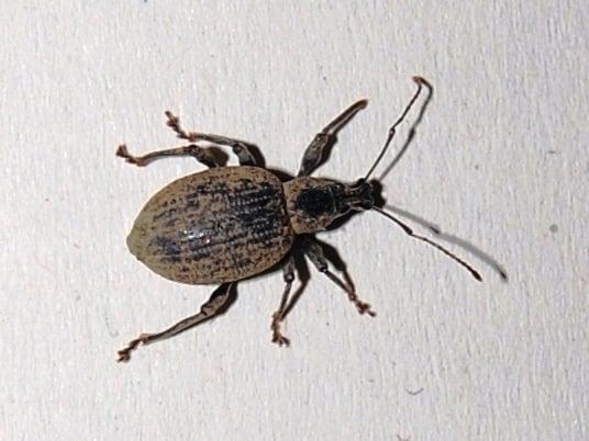 otiorhynchus-oziorrinco