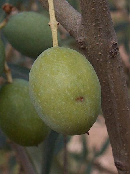puntura-mosca-olivo-bactrocera-oleae