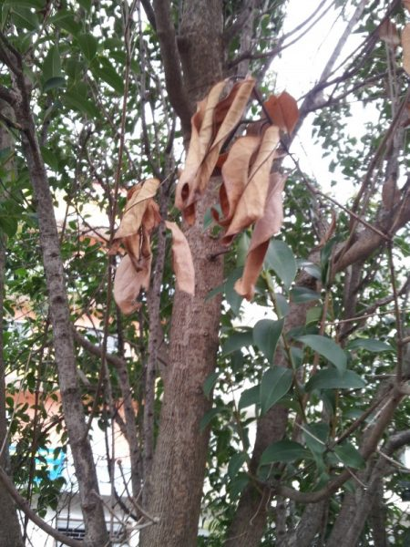 Cancro-rameale-piante