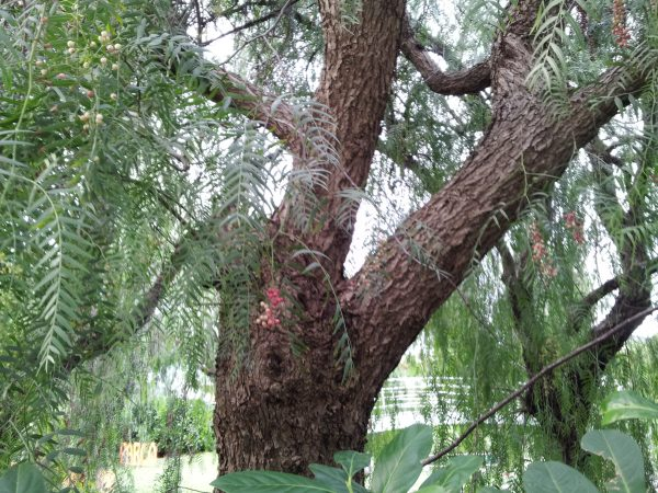 Albero-pepe-tronco