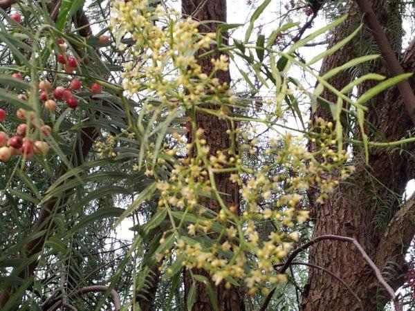 Falso-pepe-fiori