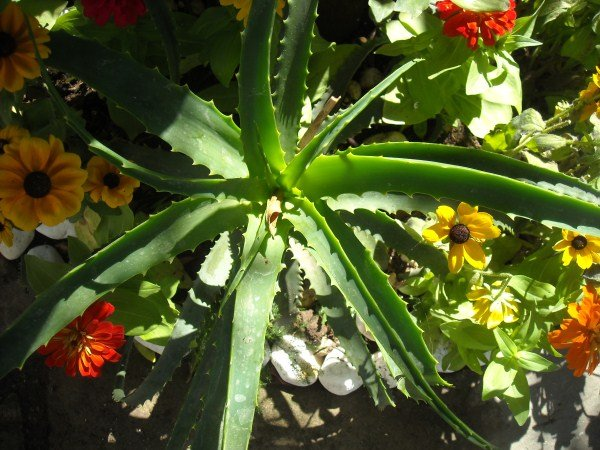 Mobili lavelli potatura rincospermum a gennaio for Potatura rincospermo