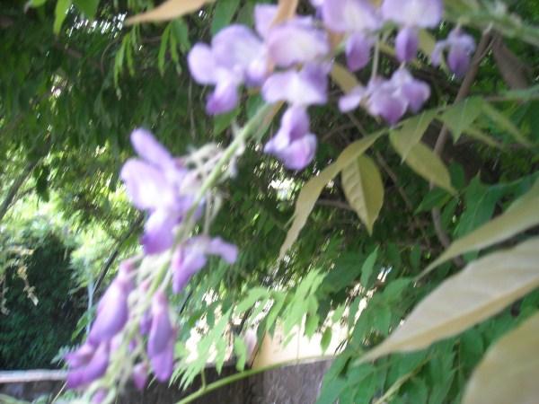 glicine-potaturainvernale