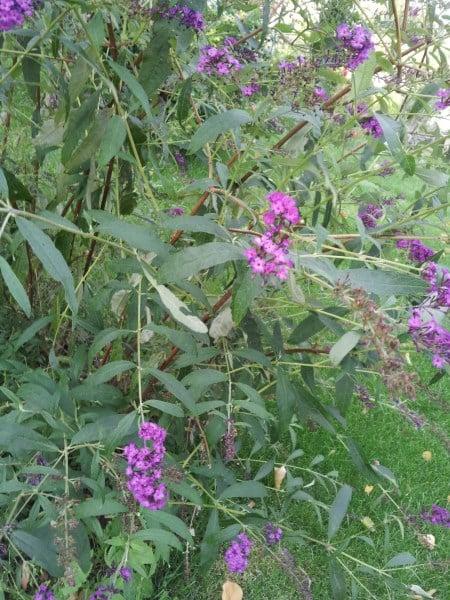 Buddleja -albero-delle-farfalle