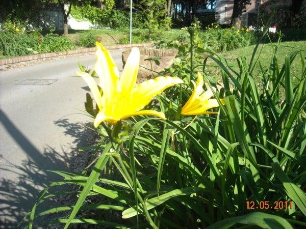 hemerocallis-coltivazione