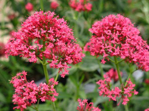Valeriana-Centranthus-ruber-fiori