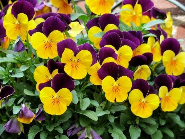 viole-tricolor