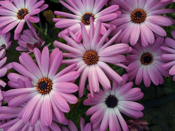 dimorfoteca-fiori