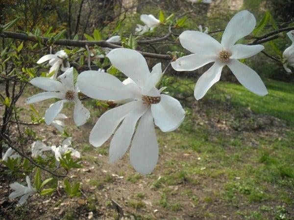 fiori di magnolia stellata