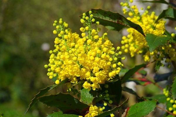 uva-oregon-mahonia-maonia-fiori