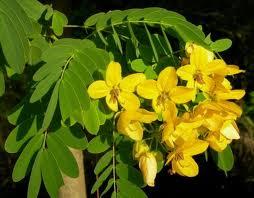Cassia-fiori