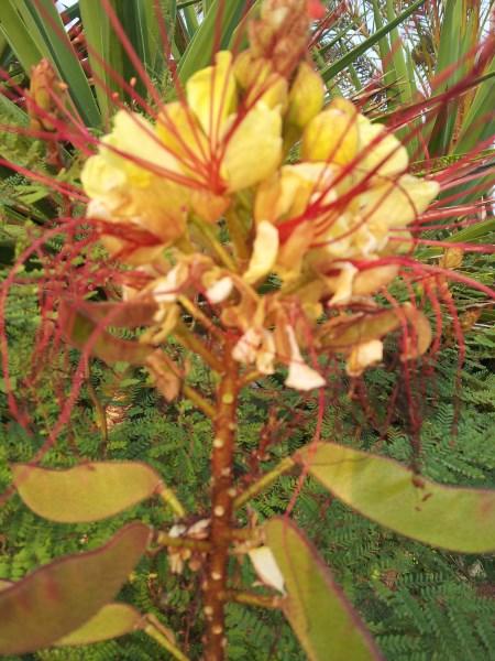 Poinciana-fiore-frutti