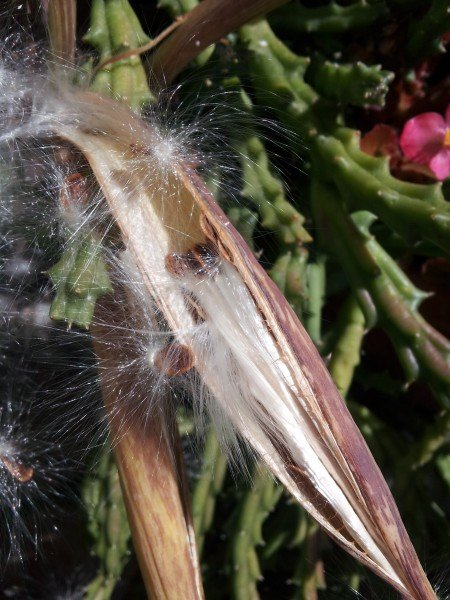 Stapelia-frutti-semi