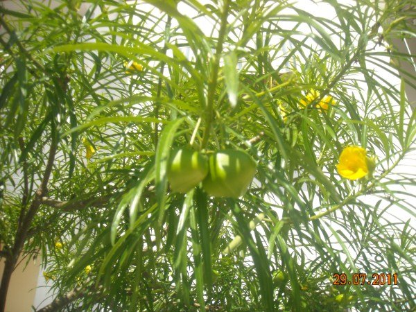 Thevetia peruviana: potatura