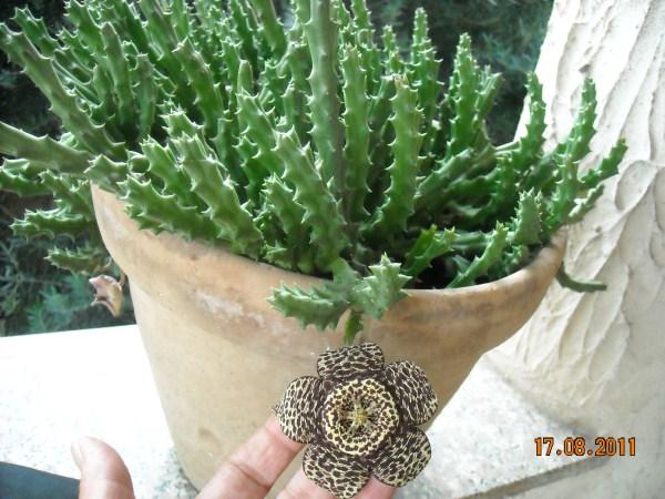 stapelia-fiore