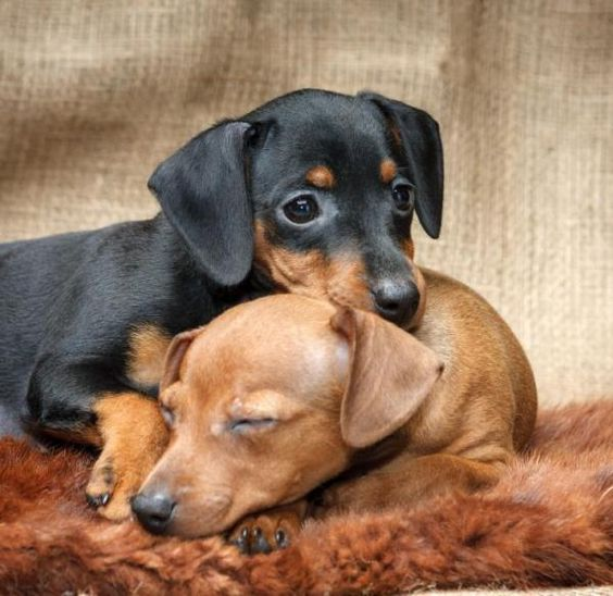 pinscher-cuccioli
