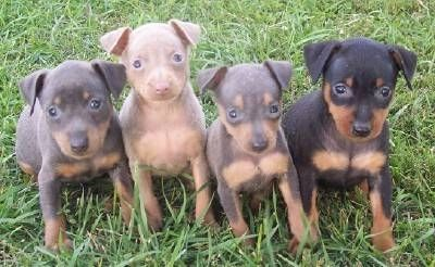 pinscher-cuccioli2