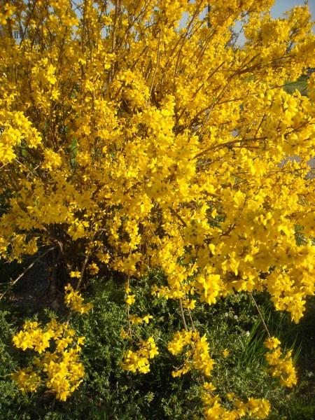 Grandi cespugli fioriti