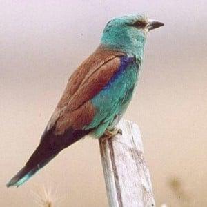 Ghiandaia Uccelli, le caratteristiche