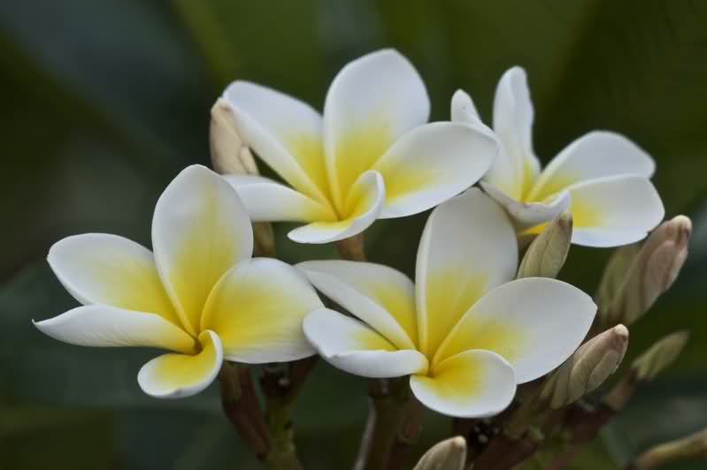 fiori-plumeria-frangipani