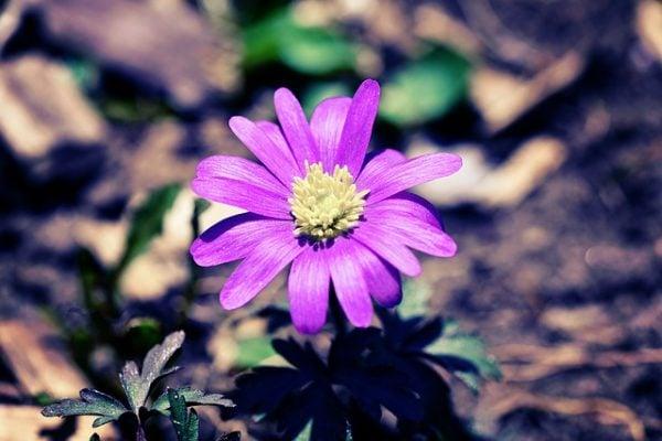 Galleria foto - Anemone blanda bulbosa Foto 11