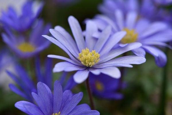 foto-anemone-blanda