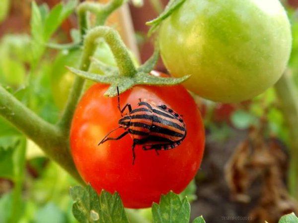 Galleria foto - Come e quando seminare il pomodoro Foto 7
