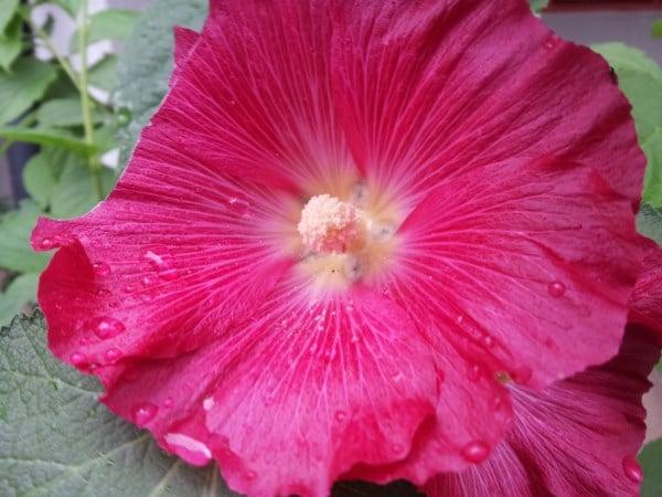 alcea-fiore