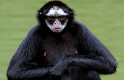 scimmiaragno-balzebu