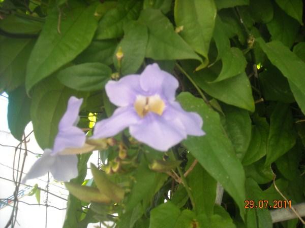 Thunbergia grandiflora coltivazione