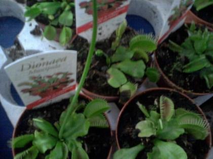 Dionea muscipula - pianta carnivora