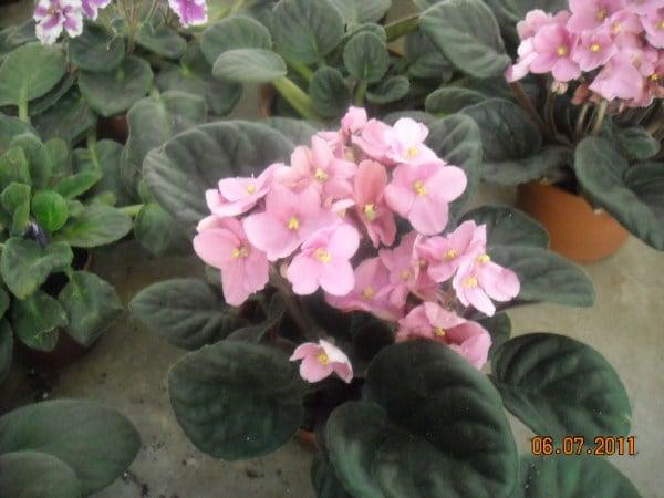violetta africana-pianta settembrina