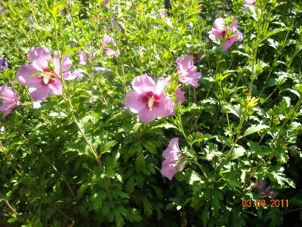 Piante di Settembre- Hibiscus syriacus