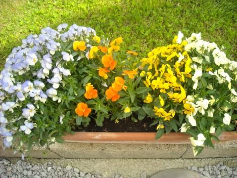 Viola del pensiero – Viola tricolor proprietà