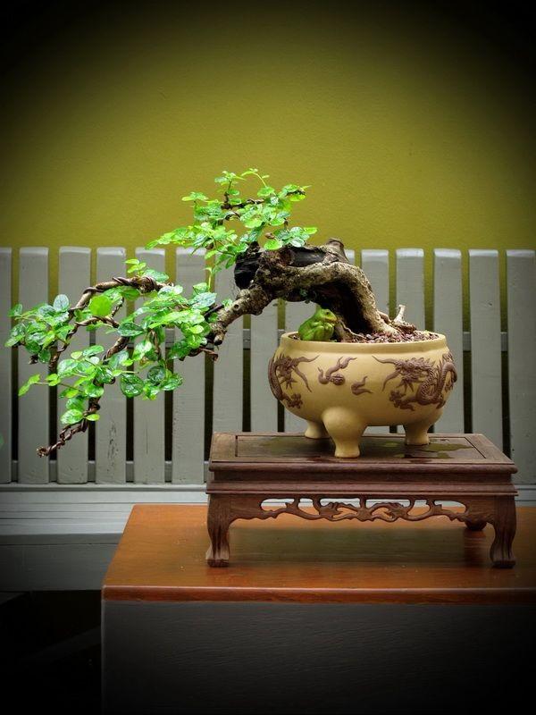 ºÍ¹ä« bonsai shohin mame miniature