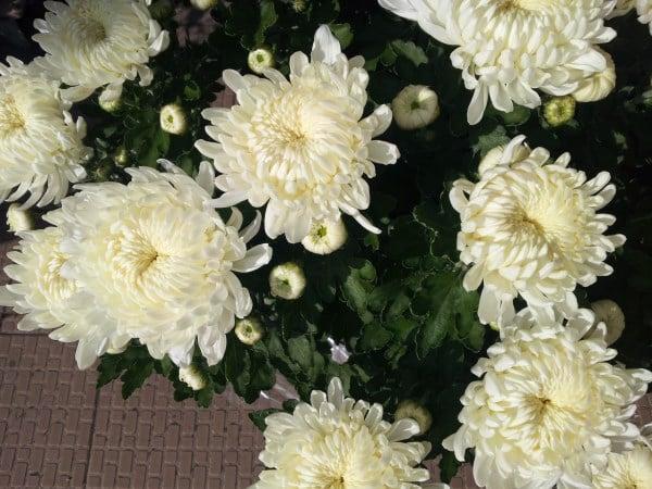 Crisantemi-bianchi