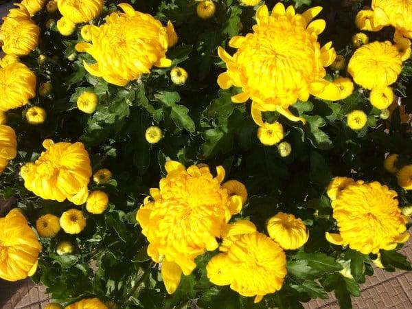 Crisantemi-gialli