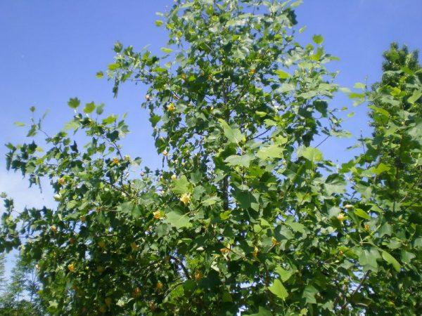 liriodendro-albero-tulipani-potatura